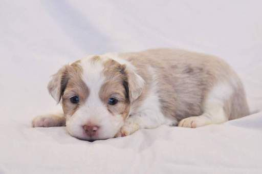Litter of 7 Miniature Australian Shepherd puppies for sale in KANSAS CITY, KS. ADN-26686 on PuppyFinder.com Gender: Female. Age: 4 Weeks Old