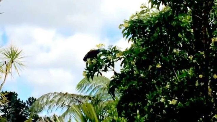 Tui feeding on an Australian Frangipani tree (in New Zealand)