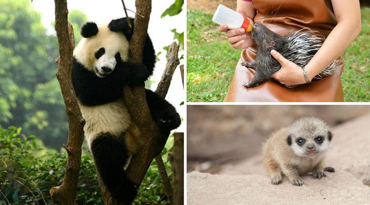 Современные зоопарки представляют собой постоянно развивающиеся структуры, где проводится просто невероятный объём работы. Это для...