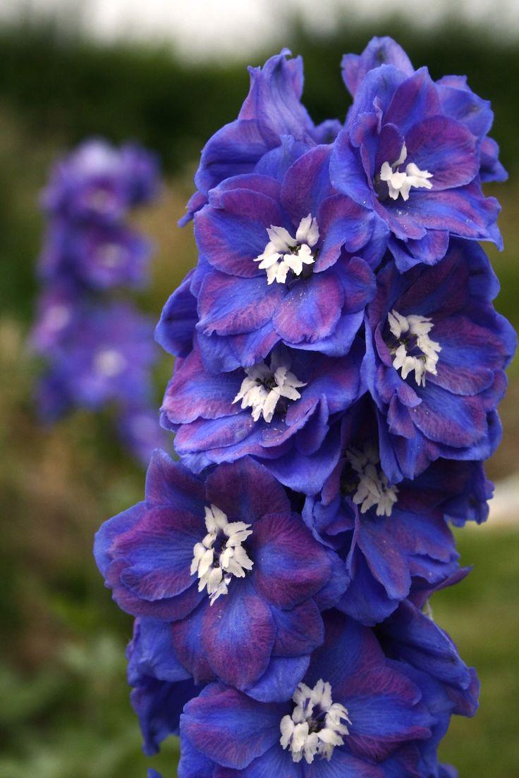 Candle Larkspur Delphinium Dasante Blue
