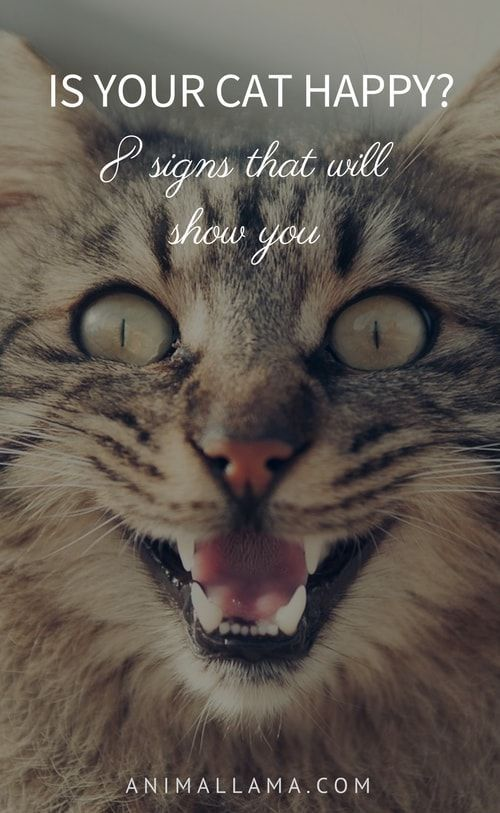 Cat's body language, posture and facial expressions can reveal if they are happy or not. Here are 8 signs that will tell you if your cat is indeed happy.  #happy #cat #happycat