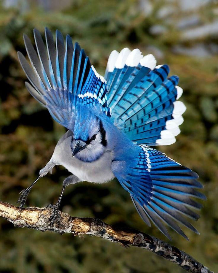 проходной птица с голубыми крыльями картинки заказ вашим