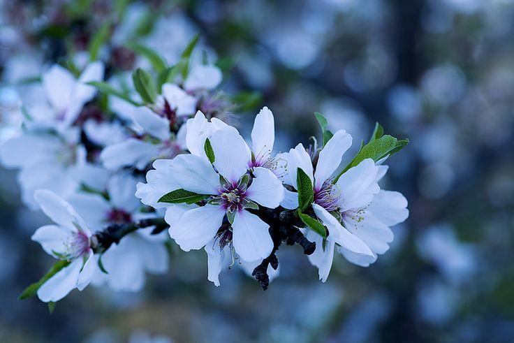 Almonds blossom | Flickr - Photo Sharing!