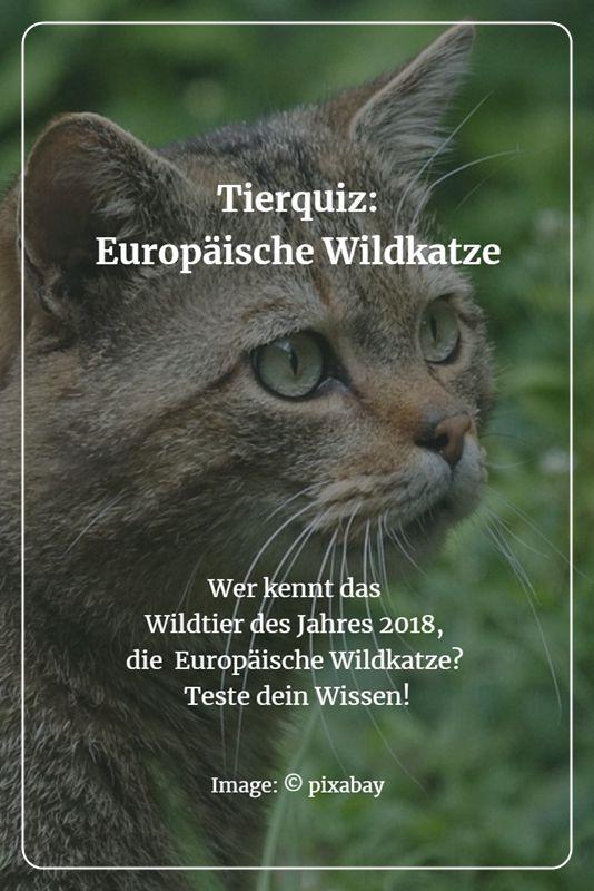 Tierrätsel: Wer kennt sie, die geheimnisvolle und ganz im Verborgenen lebende Europäische Wildkatze? - 11 Fragen (und eine Antwort) zum Wildtier des Jahres 2018