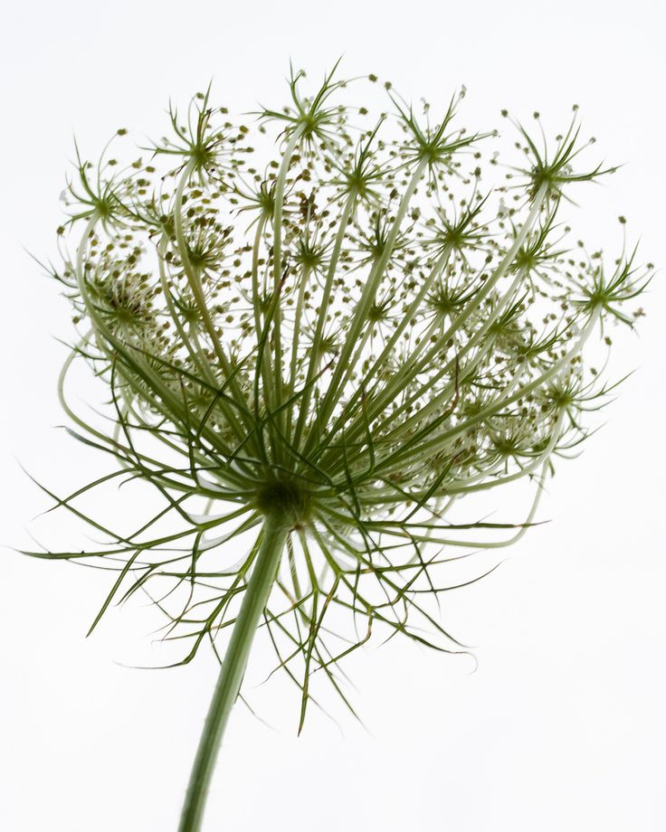 Queen Anne's Lace | Flickr - Photo Sharing!