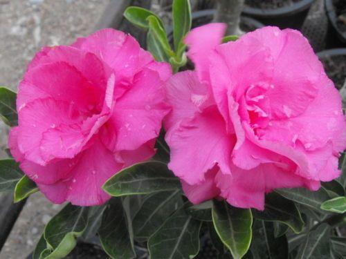 Comprar mudas de rosa do deserto on-line Shock Pink Adenium Obesum