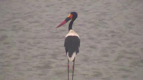 Saddle-billed Stork at Idube. - Sep 10 2016 - 1:10pm | Africam