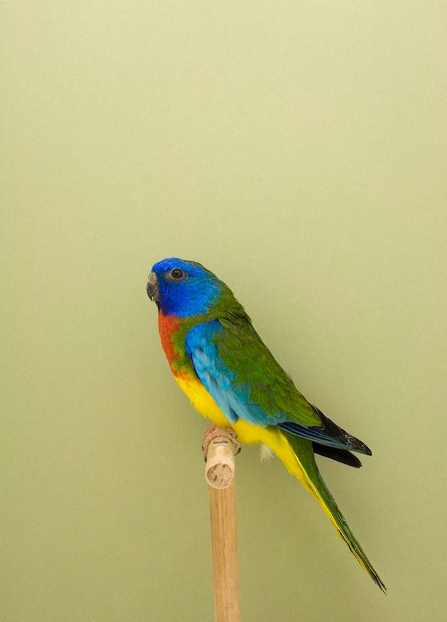 An Incomplete Dictionary of Show Birds began with a very simple idea, to photograph budgies. #LukeStephenson