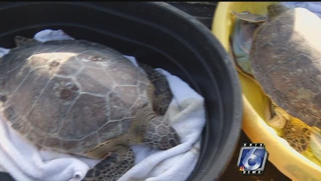 Dozens of sea turtles are back in the Gulf of Mexico after our latest blast of chilly weather left them cold stunned. Our local wildlife officials turned their release into an educational experienc...
