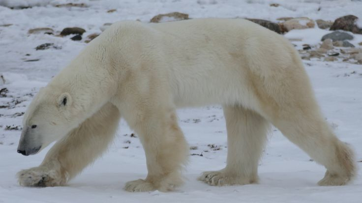Southernmost polar bears losing weight as ice shrinks:  study (CBC News 04 April 2016)