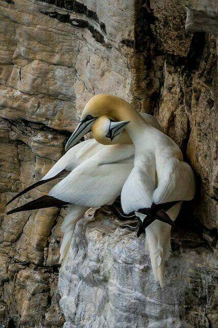 Had to Google, but found these.  They are Northern Gannets.  Love the tan heads and black wing tips.