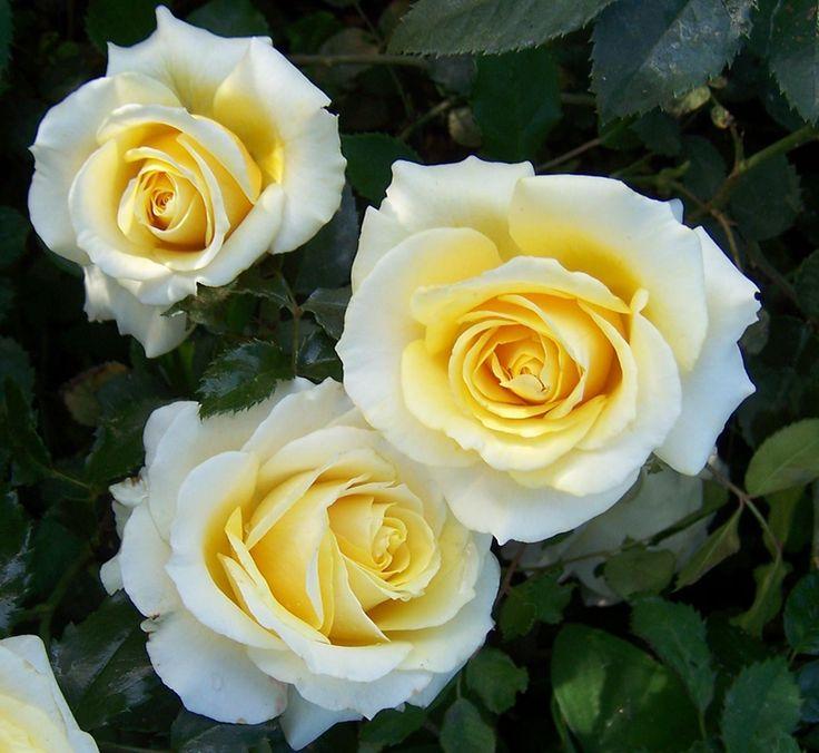 The Cullinan Centenary rose