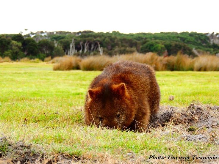 Get up close with the Wombats at Narawntapu National Park Tasmania.