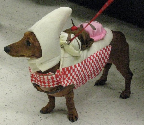 Banana Split My Dachshund Dressed Up For Halloween