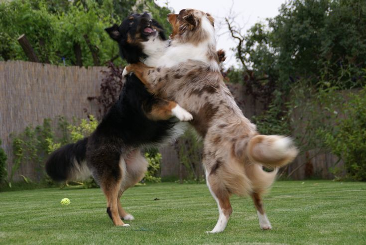 Australian Shepherd Dog Photo | AS5 500x334 Do Australian Shepherds Shed?