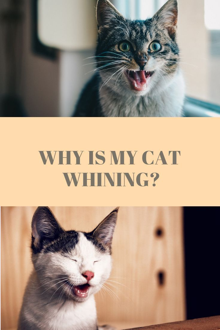 Why Is My Cat Whining Cat Meowing At Night Cats Kitten Care