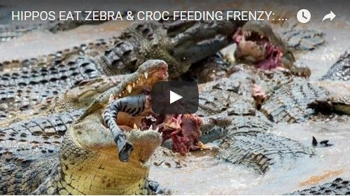 Beautifulplace4travel: HIPPOS EAT ZEBRA & CROC FEEDING FRENZY