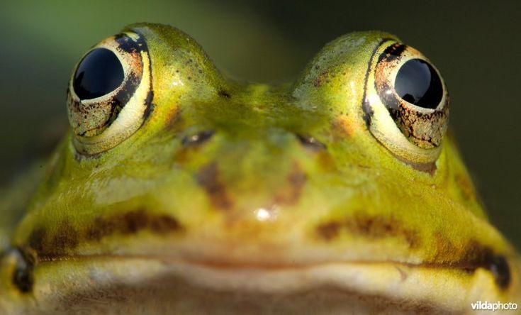 kikker | Vilda | Kop van Groene kikker