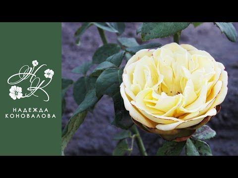 Желтая садовая роза из фоамирана с пышной серединкой по шаблонам лепестков живого цветка - YouTube