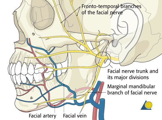 fronto temporal branches of the facial nerve - Google Search