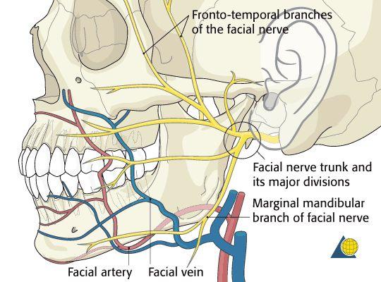 Facial mandible nerves
