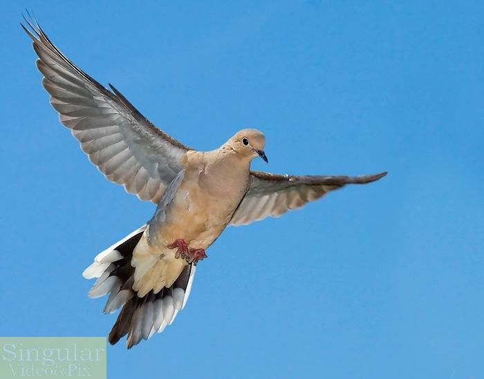 12 best mourning dove images images on pinterest for Mourning dove tattoo