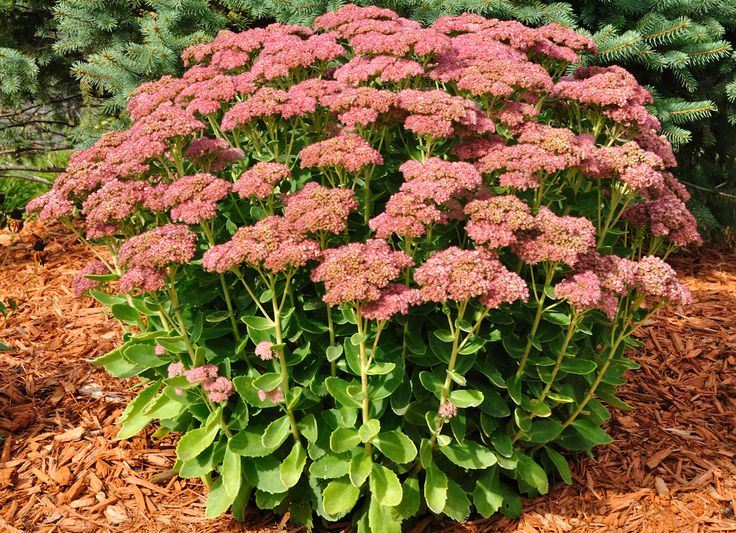 Autumn Joy Sedum - Drought tolerant, its sturdy shoots bring forth deep burgundy flowers in late summer and autumn. When the weather turns cold, you can leave the stalks standing to provide food for birds throughout the winter. Or, simply cut them to the ground once they've flagged, and wait for them to burst out again next spring.