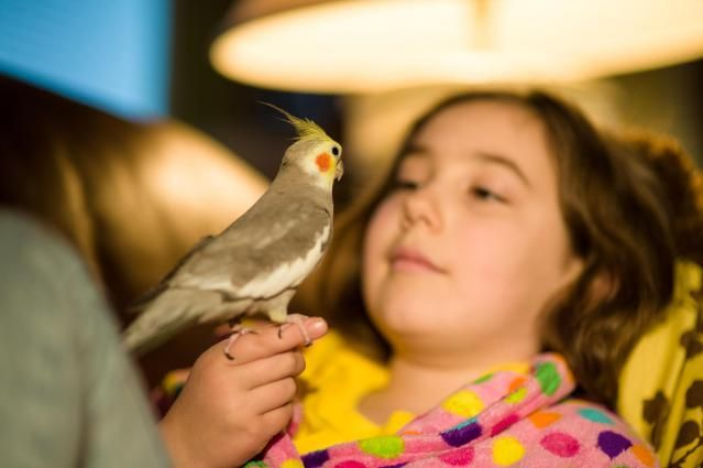 About keeping cockatiels as pets, including choosing a cockatiel, cages, and feeding.