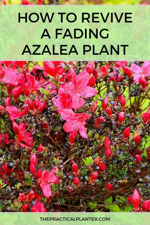 How To Revive A Fading Azalea Plant Plants Azaleas Rhododendron Plant