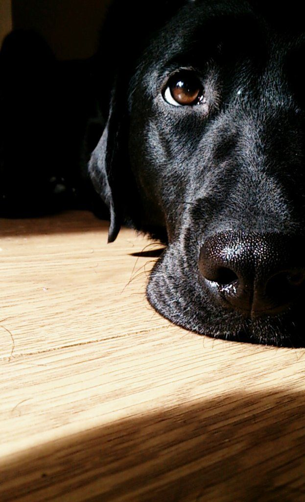 Amazing photography of this black labrador. He can put his face on my desk anytime!
