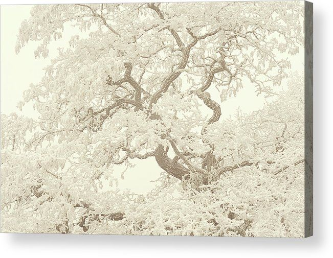 Jenny Rainbow Fine Art Photography Acrylic Print featuring the photograph Frost Lace On Old Twisted Tree. Gentle Winter by Jenny Rainbow