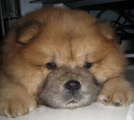 135 best chow chow love images on pinterest doggies pets and chow chow puppies - Images of chow chow puppies ...
