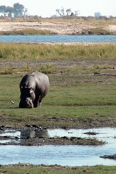 Hippo Chobe National Park Riverfront