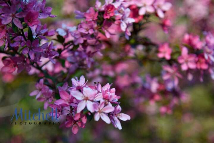 Spring Apple Tree Blooms Flowers Mitchell Photography Of Corbin Ky In 2020 Bloom Apple Tree Flowers