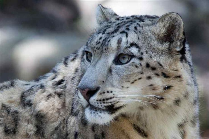 Snow leopards | Pictures of Snow Leopards, Snow Leopard Facts