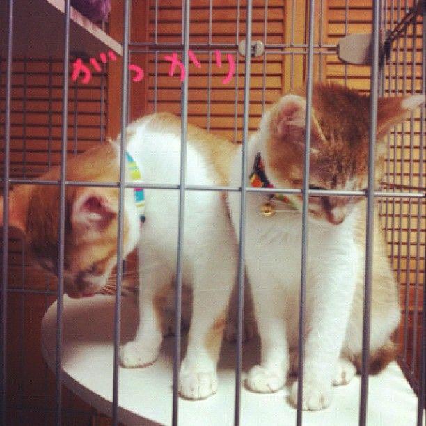 RT @kumanocomayu: やんちゃなちび達に鈴付きの首輪をつけたらあからさまに落ち込まれた。 #cat http://t.co/rR2y4Mea