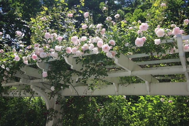 Roses are classic. They are the favorite plants of most gardeners as they produce a feeling of being special, tranquility, nostalgia, romance, and happiness. Climbing varieties are perfect to cover a pergola and arches.