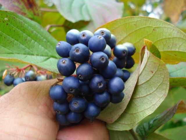 cornus ammomum berries Silky Dogwood