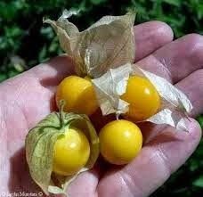 pengganggu kaya manfaat              Beberapa orang mungkin telah mengetahui tanaman yang mempunyai nama latin Physalis...