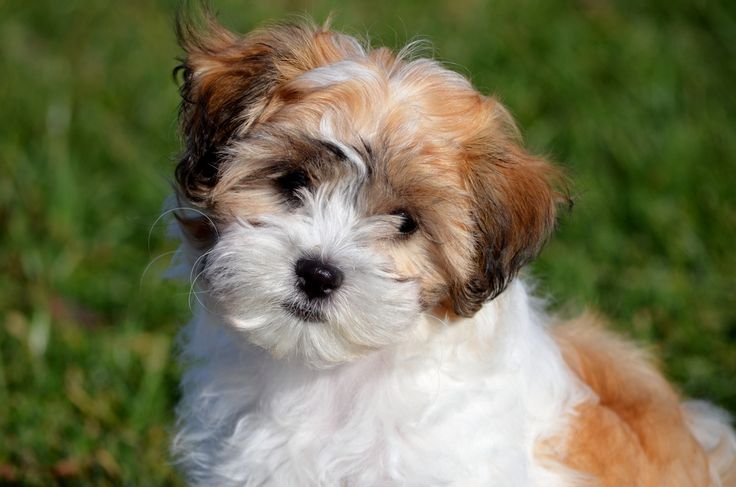 Shichon/Zuchon/Teddy Bear Dog Breed Information