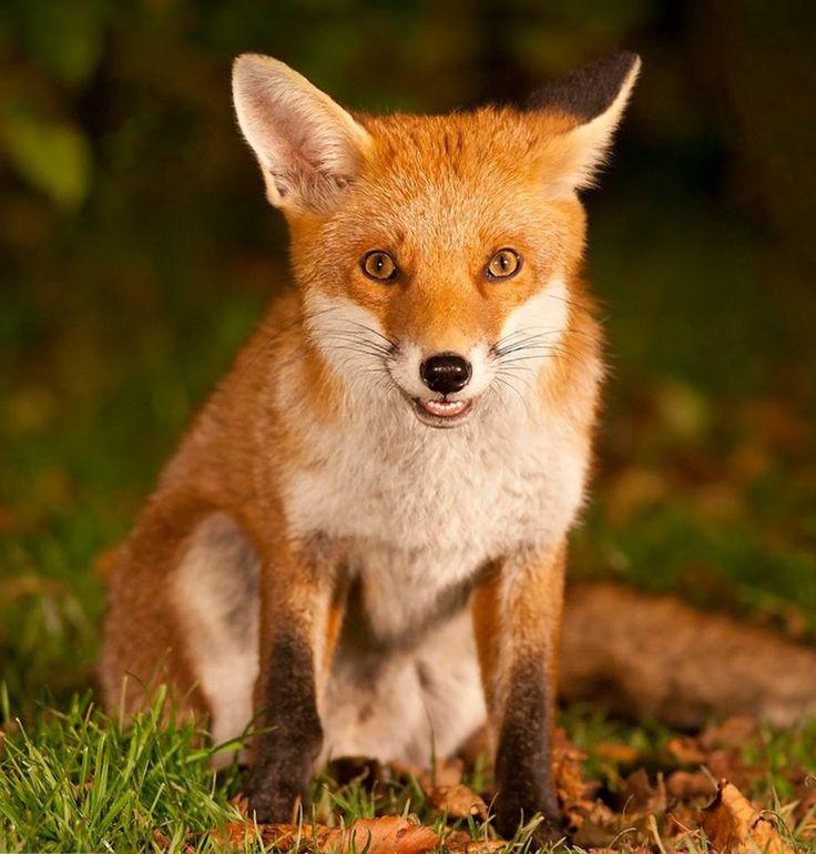 Red Fox by Glesgastef - Steven Mcgrath