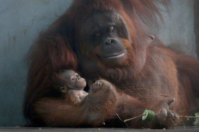 Best photos of the day: a baby orangutan and a beard competition | News | The Guardian
