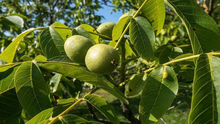 L'enveloppe des fruits du noyer ( Juglans regia L.), ou brou de noix, donne de très beaux bruns. Il figure avec la garance, le pastel et la gaude parmi les teintures «grand teint».