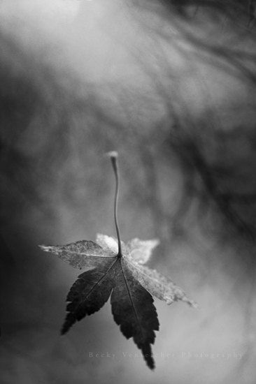 black and white photography falling leaf autumn by BeckyVenteicher