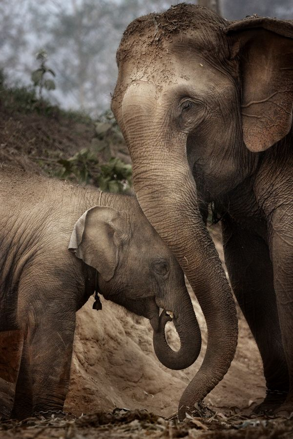 Elephants are very affectionate and they stay together always.  Herds consist of aunts and uncles as well as the immediate family.  If separated for any reason, they will recognize each other up to 25 years later.