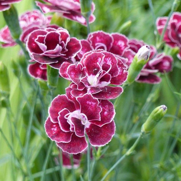 Dianthus+allwoodii+Romeo+-+Oeillet+mignardise+pourpre+à+centre+brun+et+blanc
