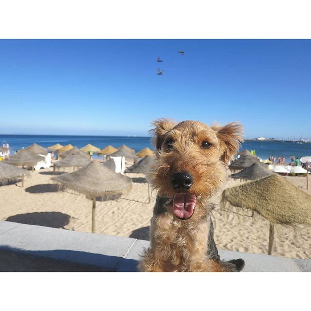 Summer☀️☀️☀️ Over 30℃ * * #welshterrier #welsh#welshie #welshterriersofinstagram #welshiesofinstagram #terrier #terriersofinstagram #dog#dogsofinstagram #dogstagram #sea#beach#portugal #cutestdogever #ilovemydog #ウェルシュテリア#テリア#海#ビーチ 2016/06/23 02:28:50