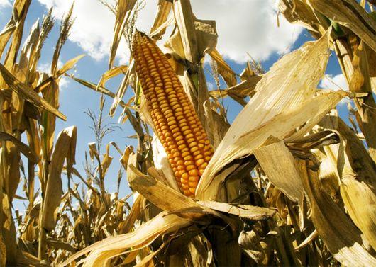 A través de la Resolución 25/2016, publicada este lunes en el Boletín Oficial, el Ministerio de Agroindustria aprobó la comercialización de un nuevo maíz genéticamente modificado (OGM) desarrollado por la empresa DuPont Pionner Argentina. El producto