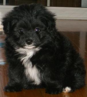 29 best Pomapoo images on Pinterest   Little dogs ...