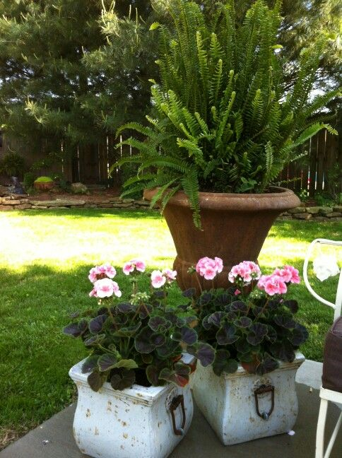 These geraniums were perfect for my italian pots